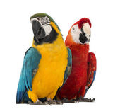 Blue-and-yellow Macaw, Ara ararauna, 30 years old, and Green-winged Macaw, Ara chloropterus, 1 year old, in front of white background — Stock Photo