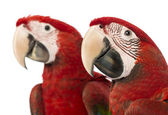 Close-up of two Green-winged Macaws, 1 year old, in front of white background — Stock Photo