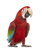 Green-winged Macaw, Ara chloropterus, 1 year old, in front of white background — Stock Photo