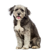 Crossbreed, 4 years old, sitting, panting and looking at the camera in front of white background — Stock Photo
