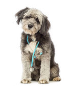 Crossbreed, 4 years old, sitting and wearing a blue stethoscope around the neck in front of white background — Stock Photo