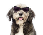 Close-up of a Crossbreed, 4 years old, wearing sunglasses in front of white background — Stock Photo