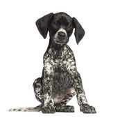 German Shorthaired Pointer, 10 weeks old, sitting against white background — Stock Photo