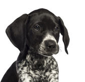 German Shorthaired Pointer, 10 weeks old, close up against white background — Stock Photo