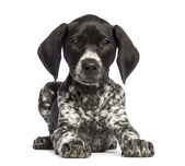German Shorthaired Pointer, 10 weeks old, lying against white background — 图库照片