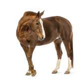 Horse looking back in front of white background — Stock Photo