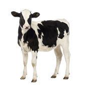 Carne di vitello, 8 mesi di età, guardando la telecamera davanti a sfondo bianco — Foto Stock