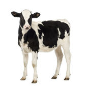 Veal, 8 months old, looking at the camera in front of white background — Zdjęcie stockowe