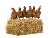 Row of hen standing on a straw bale in front of white background — Stock Photo