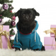 Crossbreed dog dressed and sitting in front of Christmas decorations against white background - Stock Photo