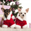 Chihuahua sitting and wearing a Christmas suit in front of Christmas decorations against white background - Stock Photo