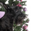 Scottish Terrier in front of Christmas decorations against white background — Stock Photo #24522069