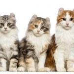 三个美国卷毛小猫,3 个月大的坐,看着在白色背景前的相机 — 图库照片