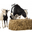 Foto Stock: Group of farm animals standing next and on a straw bale, isolate
