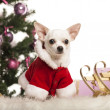 Chihuahua sitting and wearing a Christmas suit in front of Christmas decorations against white background — Stock Photo