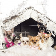 Chihuahuas sitting and dressed in front of Christmas nativity scene with Christmas tree and snow against white background - Stock fotografie