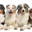 Group of Australian Shepherd lying and looking, isolated on whit — Stock Photo #24522763