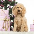 Royalty-Free Stock Photo: Poodle sitting in front of Christmas decorations against white background