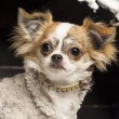 Close up of a Chihuahua in front of Christmas nativity scene with Christmas tree and snow - ストック写真