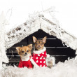 Stock Photo: Chihuahuas sitting and wearing Christmas suits in front of nativity scene with Christmas tree and snow against white background