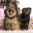 Royalty-Free Stock Photo: Spitz and Pug sitting in front of Christmas decorations against white background