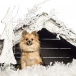 Chihuahua sitting in front of Christmas nativity scene with Christmas tree and snow against white background — Stock Photo