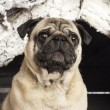 Stock Photo: Close up of pug in front of Christmas nativity scene with Christmas tree and snow