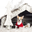 Chihuahua sitting and wearing a Christmas suit in front of Christmas nativity scene with Christmas tree and snow against white background — Stock Photo