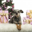Crossbreed in front of Christmas decorations against white background — Stock Photo
