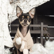 Chihuahua sitting in front of Christmas nativity scene with Christmas tree and snow — Stock Photo