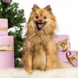 Pomeranian sitting in front of Christmas decorations against white background — Stock Photo