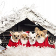 Stock Photo: Chihuahuas sitting and wearing Christmas suit in front of Christmas nativity scene with Christmas tree and snow against white background