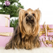 Yorkshire Terrier sitting in front of Christmas decorations against white background — Stock Photo