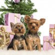 Stock Photo: Two Yorkshire Terriers sitting in front of Christmas decorations against white background