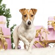 Stock Photo: Jack Russell Terrier standing in front of Christmas decorations against white background