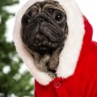 Pug dressed with a Christmas suit in front of Christmas decorations against white background - 