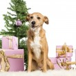 Crossbreed sitting in front of Christmas decorations against white background — Stock Photo