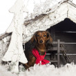 Dachshund sitting and wearing a red scarf in front of Christmas nativity scene with Christmas tree and snow against white background — Stock Photo #24529043