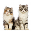 American Curl kitten, 3 months old, sitting and looking at the camera in front of white background — Stock Photo