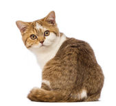 Rear view of a British Shorthair kitten, 3.5 months old, sitting and looking at the camera in front of white background — Stock Photo