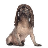 Hairless Mixed-breed dog, mix between a French bulldog and a Chinese crested dog, sitting and wearing a dreadlocks wig in front of white background — Stok fotoğraf