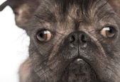 Close-up of a Hairless Mixed-breed dog, mix between a French bulldog and a Chinese crested dog, looking at the camera in front of white background — Stock Photo