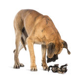 Great Dane looking at a kitten lying on its back and attacking, — Stock Photo