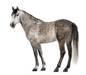 Andalusian, 7 years old, also known as the Pure Spanish Horse or PRE against white background — Stock Photo