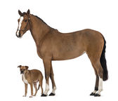 Crossbreed dog standing next to a Female Andalusian, 3 years old, also known as the Pure Spanish Horse or PRE against white background — Stock Photo