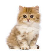 British Longhair kitten, 2 months old, sitting and looking at the camera in front of white background — Stock Photo