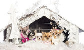 Chihuahuas sitting and dressed in front of Christmas nativity scene with Christmas tree and snow against white background — Stock Photo