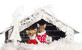 Chihuahuas sitting and wearing Christmas suits in front of nativity scene with Christmas tree and snow against white background — Stock Photo