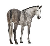 Rear view of an Andalusian, 7 years old, looking back, also known as the Pure Spanish Horse or PRE against white background — Stock Photo