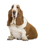 Basset Hound sitting and looking at the camera, isolated on whit — Stock Photo